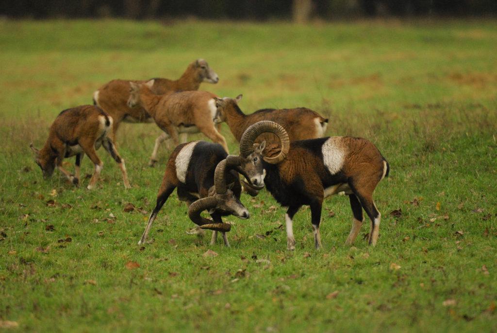 Kämpfende Muffelwidder.