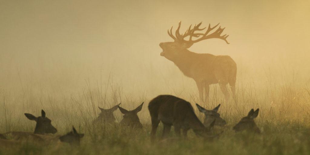 Röhrender Hirsch im Nebel