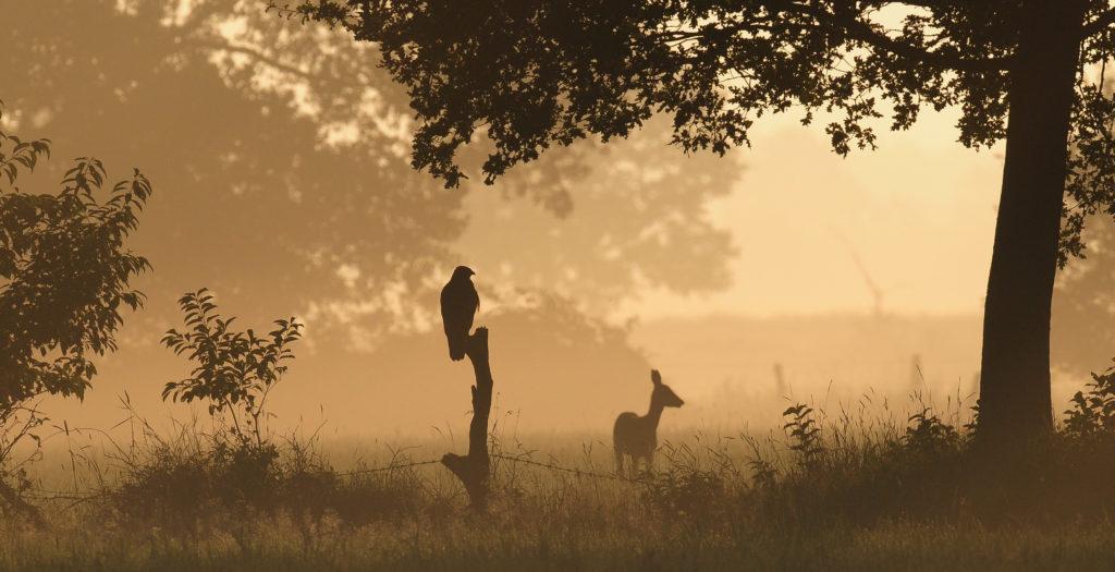 Mäusebussard und Reh im Nebel